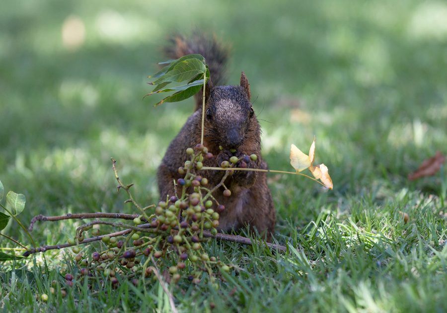 Saul Squirrel eats berries he found so he can conserve what is left of his ambushed acorn stash